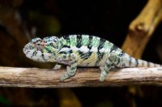 Juvenile Ambilobe Panther Chameleon produced here at Canvas Chameleons