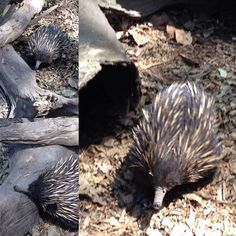 Short beaked #echidna #aussiewildlife #currumbinwildlifesanctuary so excited to be sharing this sighting with my family!  by nailditty http://ift.tt/1X9mXhV