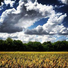 Beautiful day in the Mississippi Delta - Leland, Mississippi - Wheat field - Order prints from www.flatoutdelta.com -  © 2013 John Montfort Jones