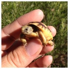 Baby Tortoise.