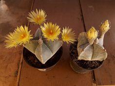 Astrophytum myriostigma v. Flowers, Plants, Crochet Cactus, Plant, Royal Icing Flowers, Flower, Florals, Floral, Planets