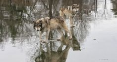 A co-op of sportsmen in northern Idaho is paying trappers to help manage wolf populations in the state.