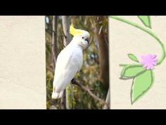Facts about the Sulphur Crested Cockatoo's life cycle