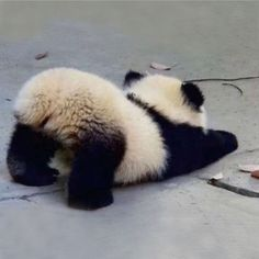 ♔ Baby panda <-- Cute little fluffle butt! ♔ Baby panda <-- Cute little fluffle butt! So Cute Baby, Baby Animals Super Cute, Cute Baby Dogs, Cute Dogs And Puppies, Cute Little Animals, Cute Funny Animals, Cute Cats, Cute Babies, Adorable Kittens