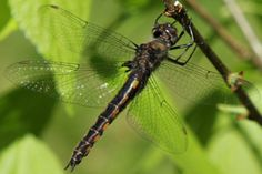 Female Common Baskettail Dragonfly, Ontario