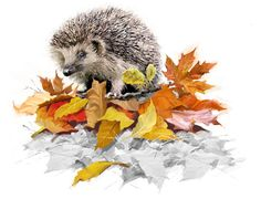 hedgehog on autumn leaves - collections ( britain )
