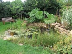 the wildlife pond after 2 years, Hinton St George. Gunnera tinctoria is not quite as huge as gunnera manicata