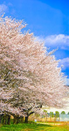 BY Kenichi Ueno Cherry Blossom, Vivid Colors, Country Roads, Trees Beautiful, Travel, Nature, Scenery, Florals, Backgrounds
