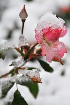 The beauty of a rose with snow on it.  A reminder that even in life's storms God's beauty shows through.