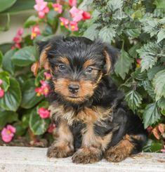 #YorkshireTerrier #Charming #PinterestPuppies #PuppiesOfPinterest #Puppy #Puppies #Pups #Pup #Funloving #Sweet #PuppyLove #Cute #Cuddly #Adorable #ForTheLoveOfADog #MansBestFriend #Animals #Dog #Pet #Pets #ChildrenFriendly #PuppyandChildren #ChildandPuppy #LancasterPuppies www.LancasterPuppies.com Puppies For Sale, Cute Puppies, Animals Dog, Cute Animals, Lancaster Puppies, Cute Little Dogs, Yorkshire Terrier Puppies, How To Be Outgoing, Mans Best Friend