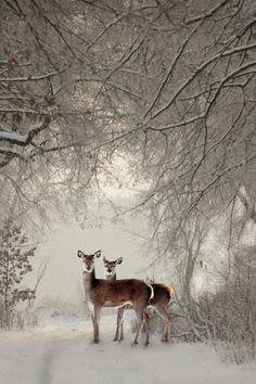 deer in the winter snow Winter Szenen, Winter Magic, Winter Time, Beautiful Creatures, Animals Beautiful, Cute Animals, Beautiful Images Of Nature, Beautiful Pictures, Snow Scenes