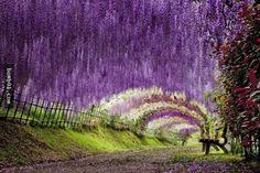 這個堪稱世界上最美景點的紫藤隧道,看完會讓你不再認為日本只有櫻花值得看而已。 - boMb01