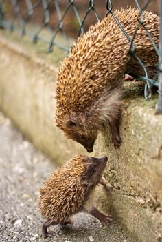 Hedgehog baby and mommy!
