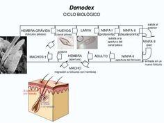Resultado de imagen para ciclo de vida de demodex