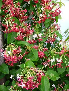 Quisqualis indica. Imagining this cascading in my backyard.