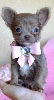 Cute Teacup Puppy / http://www.cassiesclosetinc.com