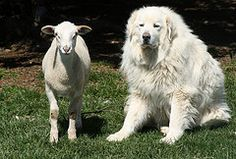 The Great Pyrenees- pretty sure mine will be this big before long!