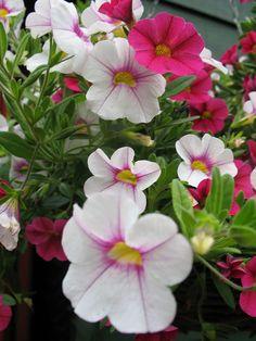 Petunias June 2014 | Flickr - Photo Sharing!