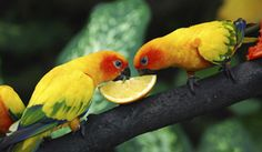 parrots feeding on fruit