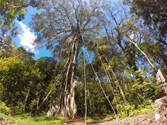 TreeTop Climbing, Ficus Tree | Ecologic Model Farm/Finca Modelo Ecológica Adventure Travel Tours | Monteverde, Costa Rica.