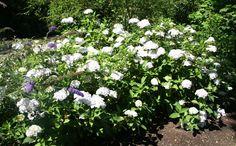 Buy Mophead Hydrangea Hydrangea macrophylla 'Madame Emile Mouillere': Delivery by Crocus.co.uk