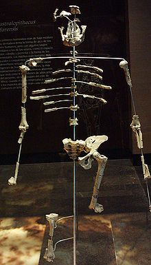 """November 24, 1974 – Donald Johanson and Tom Gray discover the 40% complete Australopithecus afarensis skeleton, nicknamed """"Lucy"""" (after The Beatles song """"Lucy in the Sky with Diamonds""""), in the Awash Valley of Ethiopia's Afar Depression."""