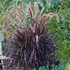 Buy Trees and Shrubs Online For Less From TheTreeFarm. We have a wide variety of Trees, Shrubs, Perennials & Container Plants. We guarantee healthy delivery and we warranty every plant we sell up to year of delivery. Red Fountain Grass, Fountain Ideas, Pennisetum Setaceum, Alchemilla Mollis, Grass For Sale, Landscape Design, Garden Design, Landscape Grasses, Tall Plants
