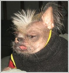 That is definitely the ugliest dog I have ever seen Funny Animal Memes, Funny Animal Pictures, Ugly Animals, Ugly Dogs, Japanese Chin, 4 Month Olds, Small Dog Breeds, Beautiful Dogs, Poodle