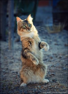 magical-meow: (via cleopatra. by Jorge Gomez de Oliveira / Cute Cats And Kittens, Cool Cats, Kittens Cutest, Warrior Cats, Pretty Cats, Beautiful Cats, Cat Reference, Dancing Cat, Cat Pose