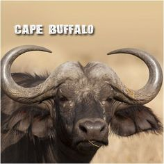 The Cape Buffalo:  Buffalo are reported to kill more hunters in Africa than any other animal. They are known to ambush hunters that have wounded or injured them. Cape buffalo are known to kill lions, and can seek out and kill lion cubs — a preventative punishment! A buffalo never forgives. They have been known to attack people that have harmed them even years after the event! #CoxandKings