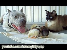 Shockingly Cute Video Finally Proves Pit Bulls are Mean & Vicious! :)