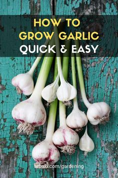 The video is a tutorial on how to grow garlic in the spring or in warmer climates. Most gardeners will say you can't do this past fall, but with today's simple tips you will find yourself growing garlic year-round. #urbakigardening #gardening #HowtoGrowGarlic #GrowSpringGarlic #GrowYourOwnGarlic