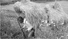 A farmer hauls rice on his back in Pong Hwang, Naju, South Korea. Rice is a staple of the South Korean diet.