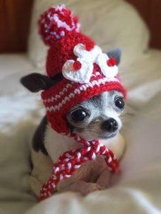 Valentine #Chihuahua
