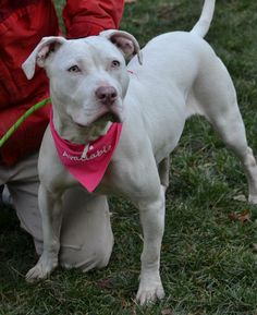 American Bulldog Mix • Young • Female • Medium  DE SPCA - Sussex Chapter Georgetown, DE  Maxine is a major beauty with a great personality.  She is a very sweet white American Bulldog mix with gorgeous light gray eyes.  Maxine is a year old and happens to be deaf.  She is a very smart girl who is learning to respond to hand signals. ...