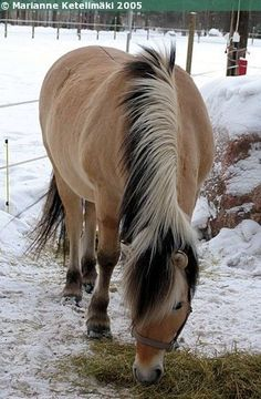 "Norwegian Fjord I've never seen one without its signature ""Mohawk""! Still gorgeous as ever though! Majestic Horse, Beautiful Horses, Animals Beautiful, Cute Animals, Horse Love, Horse Girl, Fjord Horse, Types Of Horses, All About Horses"