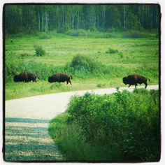 Buffalo in Riding Mountain National Park, Manitoba. Riding Mountain National Park, Western Canada, Wild Life, Roads, Habitats, The Good Place, Oc, Wanderlust, Around The Worlds
