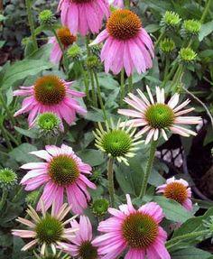 Echinacea 'Crazy Pink'