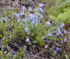 Logan Area Wildflowers/ Mountain Bluebells/ Wasatch Bloomers Utah Wildflowers