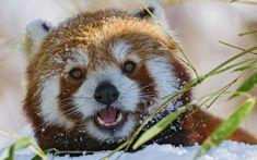 Panda bear in snow ... Red Panda