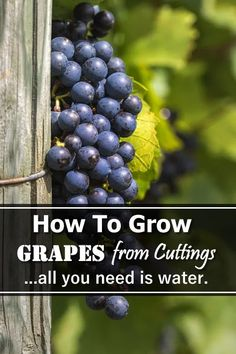 Growing Grapes, Growing Plants, How To Grow Grapes, Container Gardening, Gardening Tips, Grapevine Growing, Potting Soil, All Plants, Aquaponics