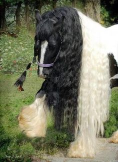 Gypsy Vanner Horse Breed Through selective breeding over more than 100 years Gypsy men and their families in England and Ireland created this breed of horses. Their goal, was to create a unique draft type horse that could pull their caravans in fancy fashion yet was docile enough to be handled by their children and would work all day with small amounts of food and water.