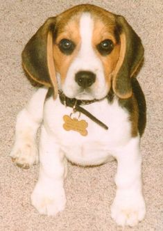 Beagle hound photo | The AKC places the Beagle dog in the Hound group.