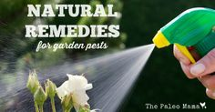 Here a list of the 12 most common insects found in home gardens and some natural remedies for garden pests.
