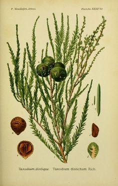 img/dessins arbres arbrisseaux/dessins arbres et arbrisseaux 0121 taxodium distique - taxodium distichum.jpg