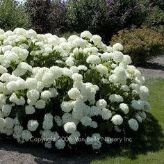 Hydrangea | Hydrangea, annabelle by dollie I have hydrangea envy because they are beautiful this year! They will be mine, oh yes, they will be mine