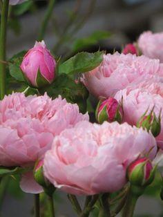 pink peonies flowers