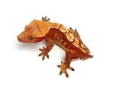 Super Red Harlequin | The Urban Gecko Lizards, Reptiles, Crested Gecko, Geckos, Urban, Awesome, Red, Animals, Animales