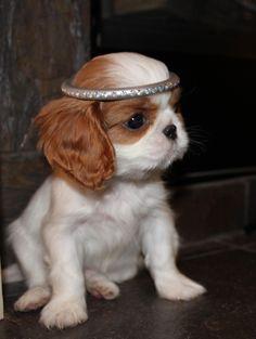 Bama,  Cute little Cavalier King Charles Pup