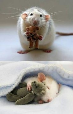 idk why ppl hate rats, theyre way friendlier and sweeter than most of the hamsters. they also never bite like most hamsters Cute Baby Animals, Animals And Pets, Funny Animals, Wild Animals, Happy Animals, Animal Pictures, Cute Pictures, Funniest Pictures, Beautiful Pictures